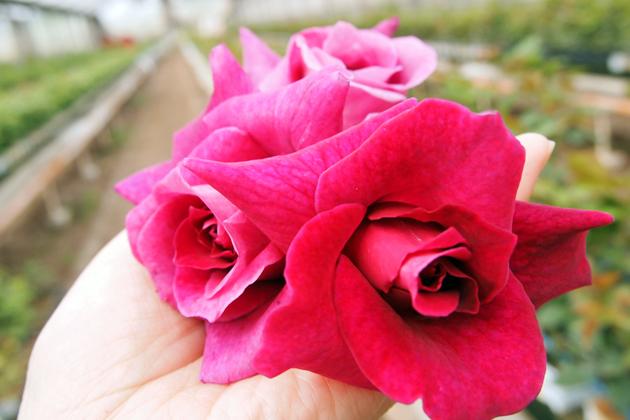 """クルマでしか味わえない!辺境グルメ旅 Vol10「山梨・笛吹市の隠れた名産""""バラ""""を、お花屋さんのカフェで満喫」"""