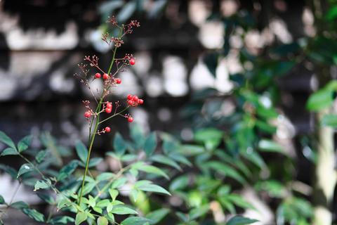 冬日に映える赤い実。