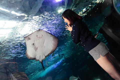 さっそく、大きなホシエイがお出迎えです。(@新江ノ島水族館)